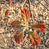 Young Red Oak Bursting Out in Spring