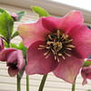 Hellebore - First Year Blooming