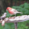 Male Purple Finch Wondering Why His Dining Partner is Not Eating