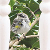 Yellow-rumped Warbler - Between The Porch Posts