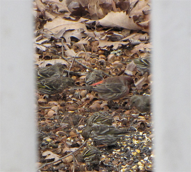 Pine Siskins and The Red Rump Is a Male House Finch
