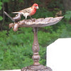 Male Purple Finch Enjoying a Meal for a King