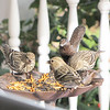 Female Pine Siskins on Front Porch Buffet Table