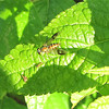 Fly - Identified in the Dolichopodidae Family - Long-legged Fly is Another Name (Condylostylus sipho)<br /> The long-legged fly eats soft-bodied invertebrates.  Adult flies are predaceous on small mites, aphids and flea hoppers, booklice,  thrips, flies, silverfish, small caterpillars and other insects.  You really want to have this little guy in your yard and in your garden.  He is very beneficial.  He also eats nectar from flowers for carboyhydrates.  He was on a Blue-Black Salvia leaf.