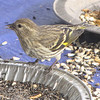 Closeup of Male Pine Siskin