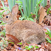 First Sighting of a Bunny This Spring - April 8