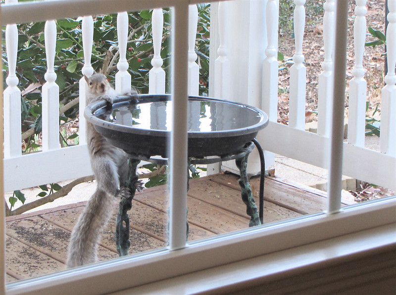 How Cute Can You Get - Squirrel Having a Drink at the Birdbath