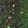 Two Water Striders in Our Pond