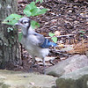 Blue Jay Fledgling - Blurry Photo But Cute Little Guy
