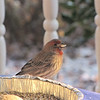 Male House Finch with Seed in Mouth