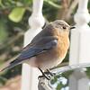 Bluebird in Morning at Bluebird Cove