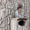 Who, Me - I Am Innocent Says The Squirrel