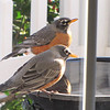 Pair of American Robins at Heated Bird Bath