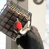 Look At That Big Foot on the Suet Feeder - Pileated Woodpecker
