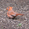 Molting Male Cardinal