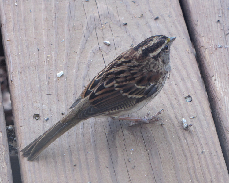 White-throated Sparrow - You Can See Blue on Side and Tail