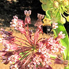 Bee in Flight From One Bloom to Another on Common Milkweed