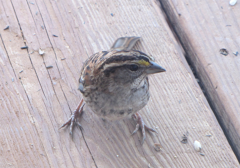 White-throated Sparrow - Look at Those Feet