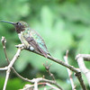 Male Ruby-throated Hummingbird at Resting Spot