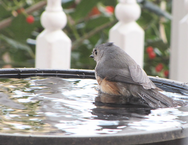 Tufted Titmouse Enjoying a Winter Bath in the Heated Spa