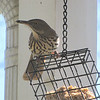 First Appearance of Brown Thrasher This Spring - On Suet Feeder on Front Porch  4-6-11