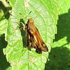Tattered and Torn Skipper Butterfly - Possible Zabulon
