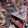 Epione Underwing Moth (Catocala epione) in Pot on Deck