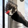Female Pileated Woodpecker at Suet Feeder on Front Porch