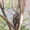 Juvenile Cooper's Hawk in Black Willow - 12 Feet From Dining Room Window