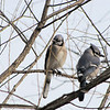 Pair of Blue Jays in Black Willow Tree