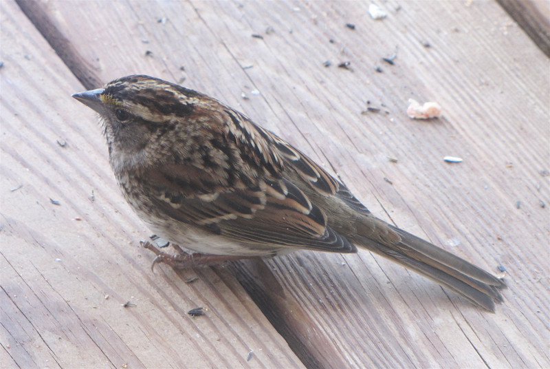 White-throated Sparrow Pattern on Back Makes Your Eyes Dizzy