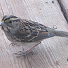 White-throated Sparrow on Front Porch