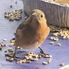 Watchful Bluebird