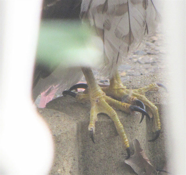 Feet of the Juvenile Cooper's Hawk at Our Front Walkway Looking Into the Area Where We Feed Our Ground Birds