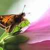Male Zabulon Skipper Butterfly on Rose of Sharon