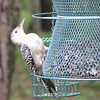 Red-bellied Woodpecker Fledgling Asks, What Do I Do Now?