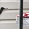 Ruby-throated Hummingbird at Window Feeder
