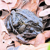 Mating Pickerel Frogs From Our Pond - Scooped Them Out With the Leaf Net<br /> All eyes are on me.  So funny!  When frogs mate, the male frog clasps the female underneath in an embrace called amplexus. He climbs on her back and reaches his arms around her. Amplexus can last several days. Usually, it occurs in the water, though some species mate on land or even in trees with eggs dropping into the water below.  While in the amplexus position the male fertilizes the eggs as they are laid. They don't watch over their eggs like birds do. Once laid, the eggs are left to develop on their own.  It's a risky proposition with most of the frogs or toads not making it, but the adults return every year to the same lake or pond and continue to lay eggs.