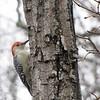 Adult Male Red-bellied Woodpecker