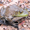 Bullfrog From Our Small Pond<br /> He jumped out of the pond net while I was getting some excess leaves out.