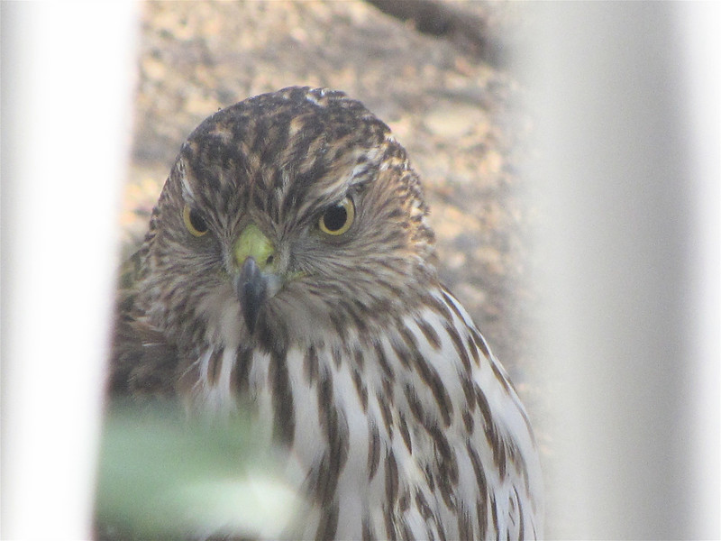 Bold Juvenile Cooper's Hawk at Our Front Walkway Looking Into the Area Where We Feed Our Ground Birds - Photo taken through the front porch rails