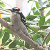 Adult Male Downy Woodpecker