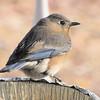 Morning Bluebird on Front Porch Buffet