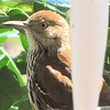 First Sight of Our Returning Brown Thrashers - A Pair Arrived and Are Enjoying the Suet Feeders  4-6-11