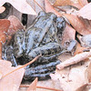 Mating Pickerel Frogs From Our Pond - Scooped Them Out With the Leaf Net<br /> When frogs mate, the male frog clasps the female underneath in an embrace called amplexus. He climbs on her back and reaches his arms around her. Amplexus can last several days. Usually, it occurs in the water, though some species mate on land or even in trees with eggs dropping into the water below.  While in the amplexus position the male fertilizes the eggs as they are laid. They don't watch over their eggs like birds do. Once laid, the eggs are left to develop on their own.  It's a risky proposition with most of the frogs or toads not making it, but the adults return every year to the same lake or pond and continue to lay eggs.