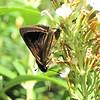 Dun Skipper Butterfly, Male