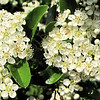 Closeup of Pyracantha (Firethorn) Blooms