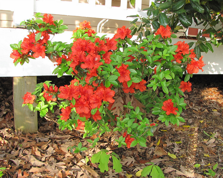 Red Azalea - First Year It's Been Able to Bloom - The Deer Haven't Nibbled It