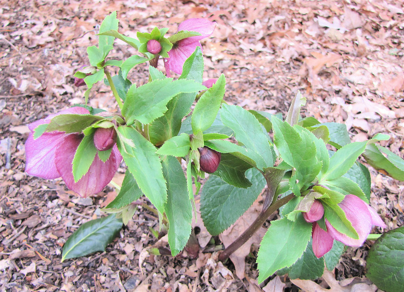 Hellebores Blooming So Pretty - First Bloom of Spring - March 11