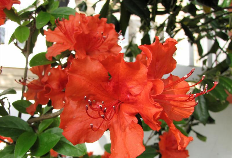 Closeup of Red Azalea